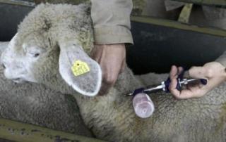 pecora gregge influenza